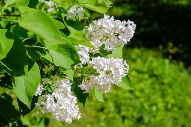 Viele kleine blüten von sommerflieder, busch in voller blüte im sonnigen frühlingsgarten