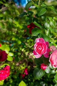 Viele kleine rosa rosen auf buschnahaufnahme im sonnenuntergangsgarten. pfingstrose rosenbusch, der an einem hellen sommertag im hinterhofgarten blüht. blumendekoration und landschaftsgestaltung