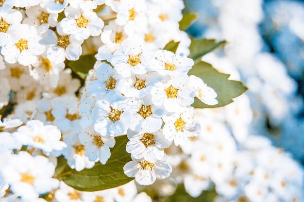 Viele kleine weiße blüten mit gelben staubgefäßen und grünem blatt