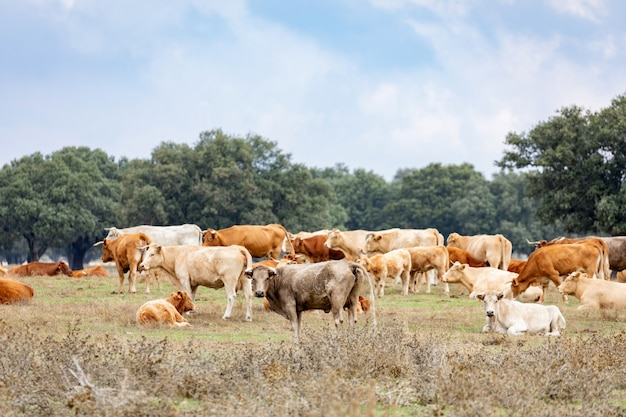 Viele kühe grasen und ruhen