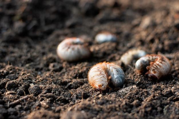 Viele larven des käfers sind in lehmigen böden.