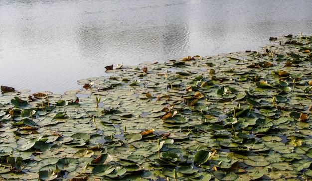 Viele lotusblätter im teich