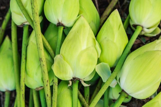 Viele lotusblüten knospen auf dem boden