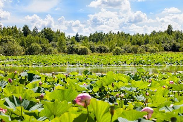Viele lotusblumen am see an einem sonnigen tag