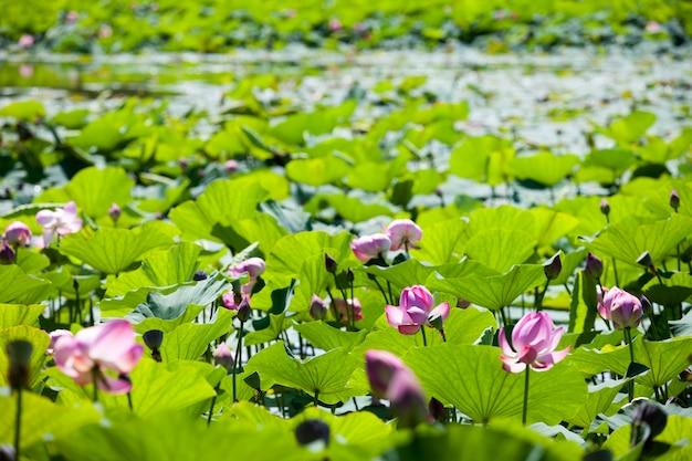 Viele lotusblumen am see
