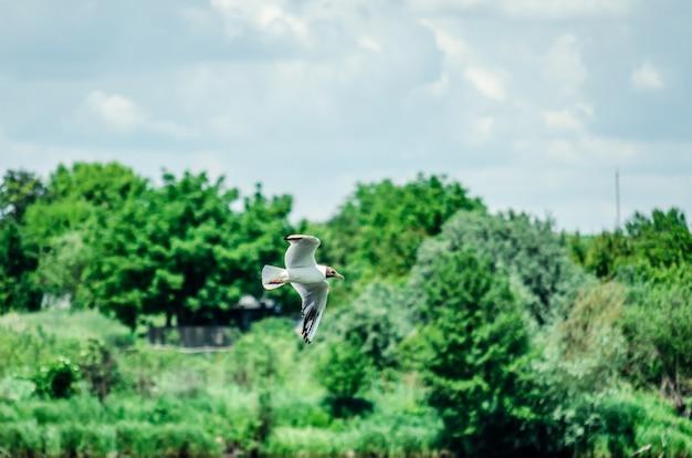 Viele möwen fliegen auf der suche nach nahrung über den teich