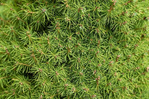 Viele nadelwachelzweige mit grünen nadeln