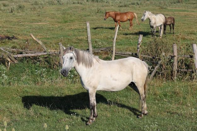 Viele pferde weiden auf der farm