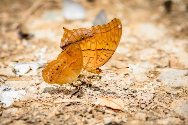 Viele pieridae-schmetterlinge, die wasser auf dem boden sammeln