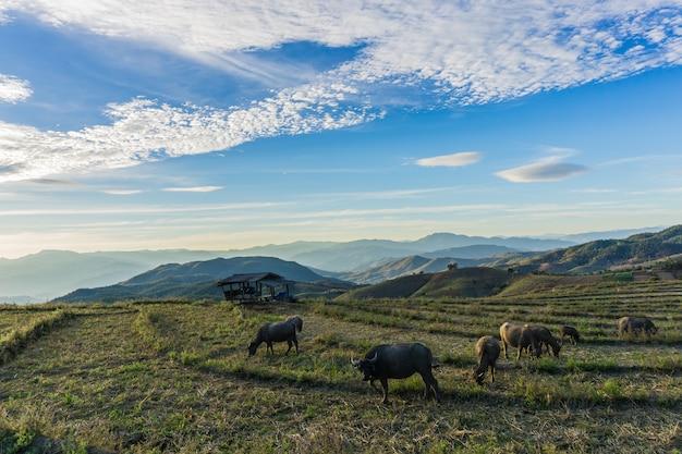 Viele reisfelder und büffel gestalten chiang mai thailand landschaftlich