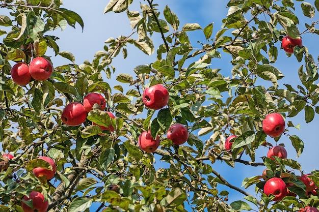 Viele rote äpfel am apfelbaum gegen blauen himmel