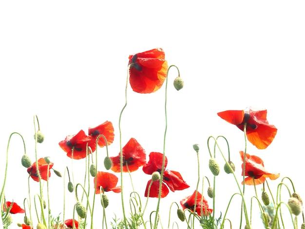 Viele rote mohnblumen isoliert auf weißem hintergrund