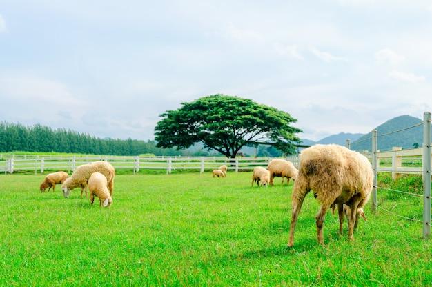 Viele schafe auf der wiese, schafherde auf grüner farm