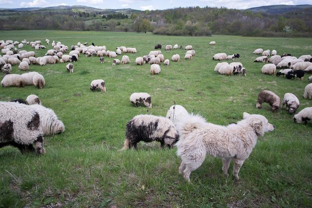 Viele schafe mit ihrem hundewächter
