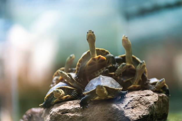 Viele schildkröten kommen auf den felsen zur ruhe.