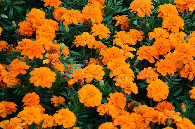 Viele schöne blühende gelbe ringelblumen in einem freiluftblumenbeet