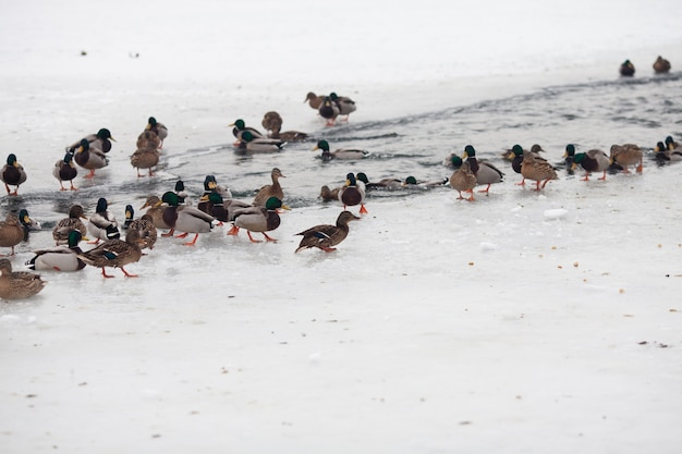 Viele schöne enten auf dem zugefrorenen fluss im winter