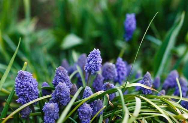 Viele schöne frühlingsblumen von blauer und blauer farbe auf dem bett. muscari.