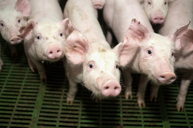 Viele schweine auf dem hof zur zucht
