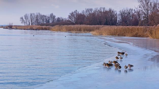 Viele stockenten am see im winter