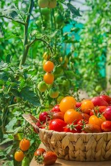 Viele tomaten im garten, ernte. selektiver fokus.