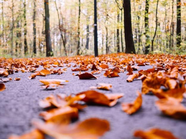 Viele trockene herbstahornblätter fielen auf den boden, umgeben von hohen bäumen auf einem unscharfen hintergrund
