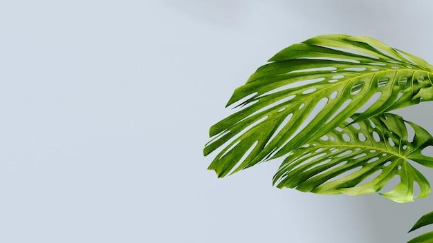 Viele tropische monstera-blätter