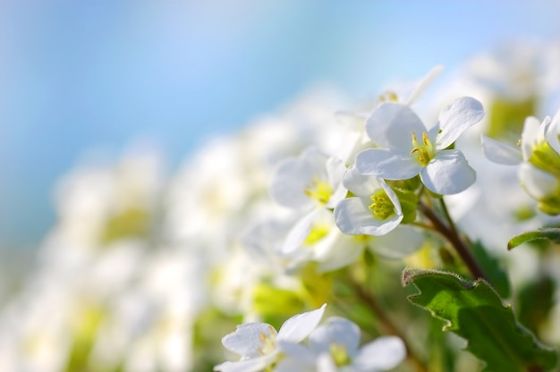 Viele weiße blüten