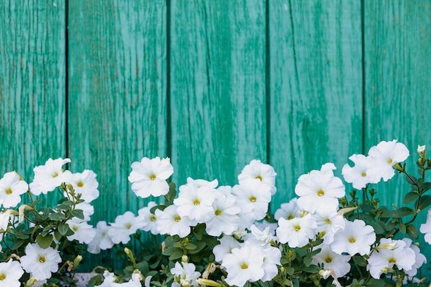Viele weiße blumen wachsen auf dem hintergrund von vertikalen brettern, die in grün gemalt werden.
