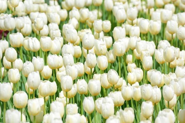 Viele weiße tulpen auf dem feld. blumentextur