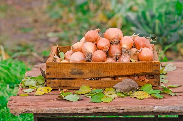 Viele zwiebeln in der kiste.