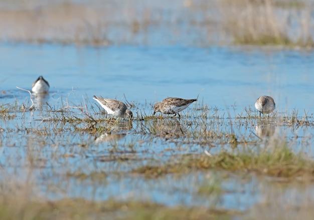 Vier dunlins, die an einem nebligen morgen im flachen wasser nach nahrung suchen