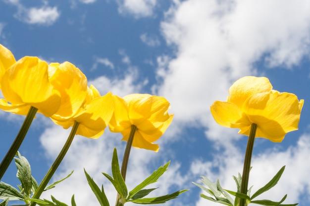 Vier gelbe kugelblumen, die zum himmel streben. senken sie den aufnahmepunkt.