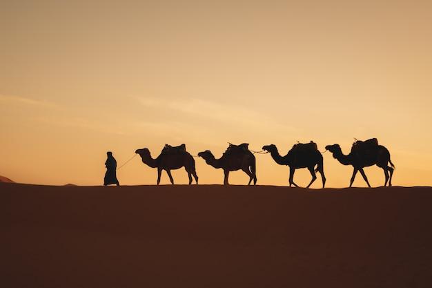 Vier kamele in einer reihe, die in eine düne mit einem sonnenaufganglicht in der rückseite gehen