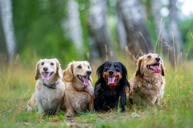Vier süße kleine hunde posieren auf naturhintergrund. unscharfer hintergrund. haustiere und tiere.