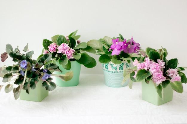 Vier veilchen in lila, rosa und lila farbe stehen auf hellem hintergrund im halbkreis in kleinen töpfen.
