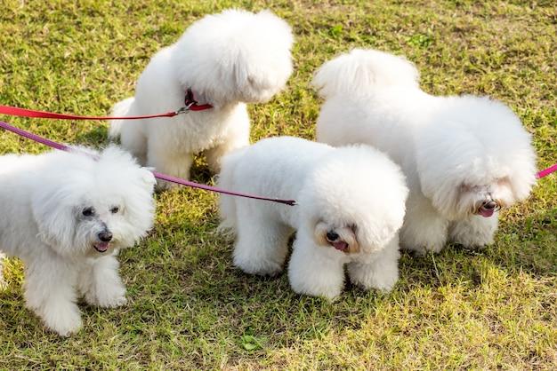 Vier weiße hunde bichon frise