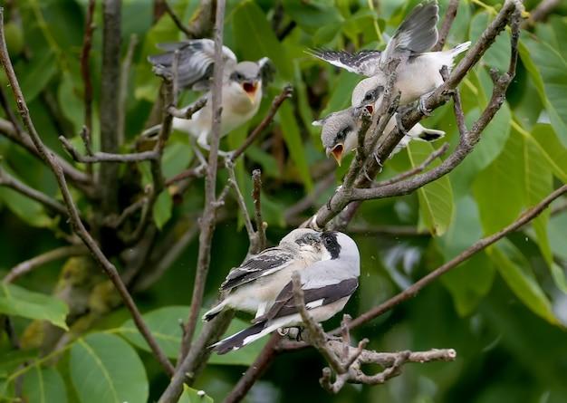 Vier zwergwürger-küken (lanius minor) wurden mit voller aufnahme auf einem ast fotografiert, während sie von ihren eltern gefüttert wurden. lustige und ungewöhnliche situationen