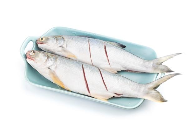 Vierfinger-fadenflossenfisch isoliert auf weißem raum, eleutheronema tetradactylum