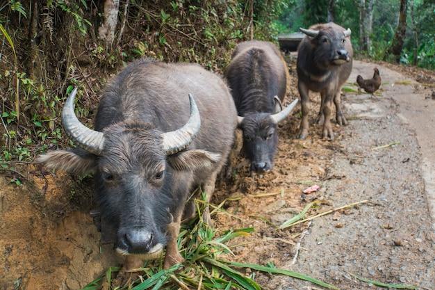Vietnamesischer büffel unterwegs in vietnam.