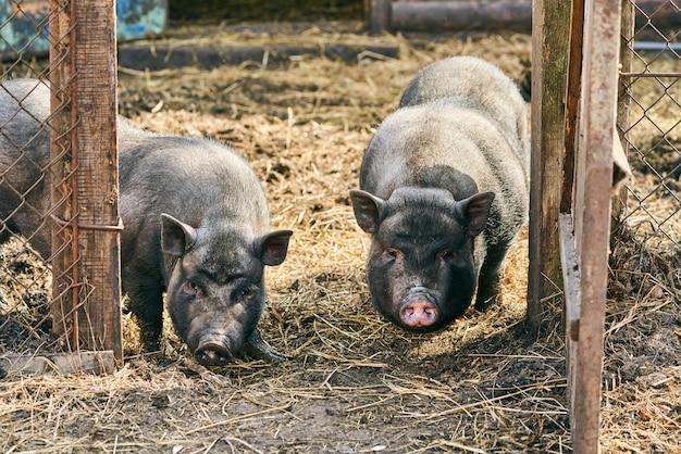 Vietnamesisches schwarzbauchschwein. pflanzenfressende schweine. tierhaltung