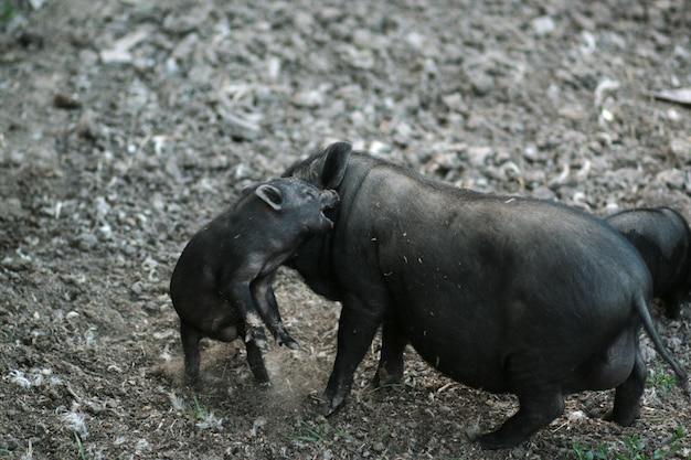 Vietnamesisches schwarzbauchschwein. pflanzenfressende schweine