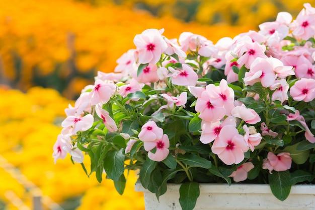 Vinca rosea blüht blüte im garten, laubvielfalt von farbblumen, selektiver fokus
