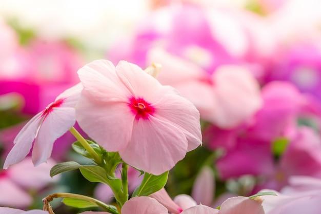 Vinca rosea-blumen blühen im garten, laubvielfalt von farbblumen