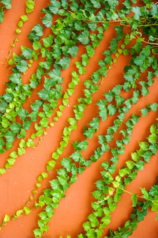 Vintage beton rote wand kriechpflanze