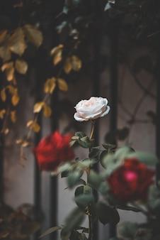 Vintage schöne rosa und rote rosen garten