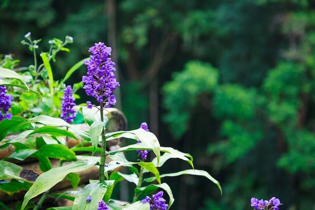 Violet purple liriope blumen, grenze gras, lily turf und affen gras