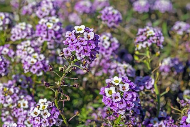 Violeta alyssum blüht in einem blumenbeet gegen andere blumen