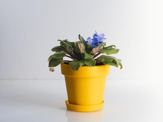 Violett im gelben topf auf weißem tisch