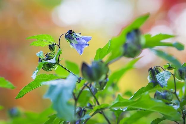 Violette blüten eines nachtschattens